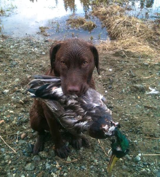 first-duck